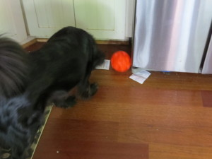 Sirius plays with feeder ball