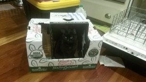 cat sitting in an empty produce box