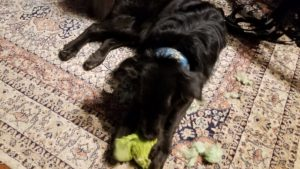 Sirius tearing apart a green stuffed toy