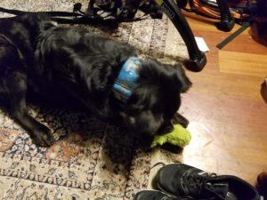 Dog destroys stuffed toy