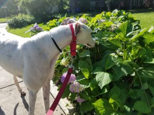 white greyhound sniffing a green bush